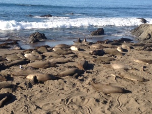 Elephant seals aplenty